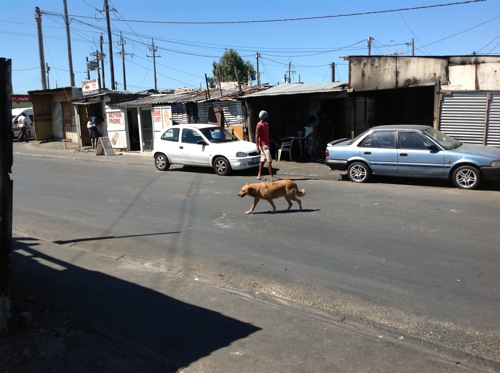 City sets out to sterilise township dogs