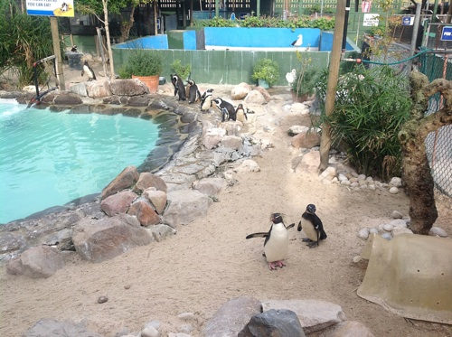 Penguins affected by oil spill from Seli 1