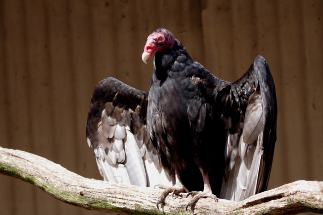 Muti poachers: Vulture population could be decimated by World Cup